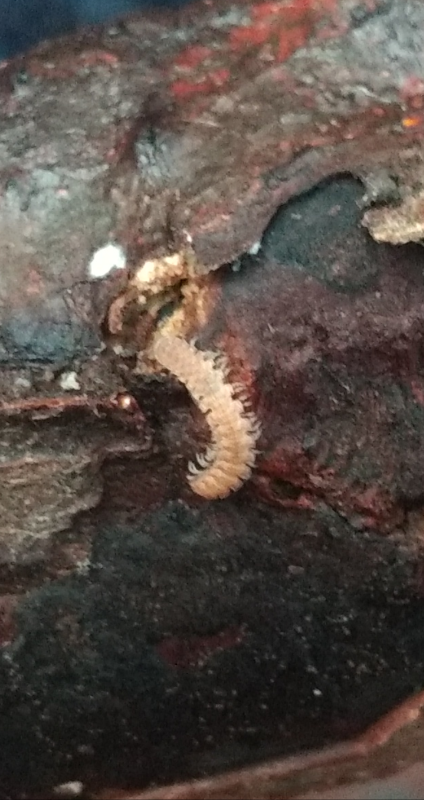 Polydesmus sp. (Polydesmus sp.)