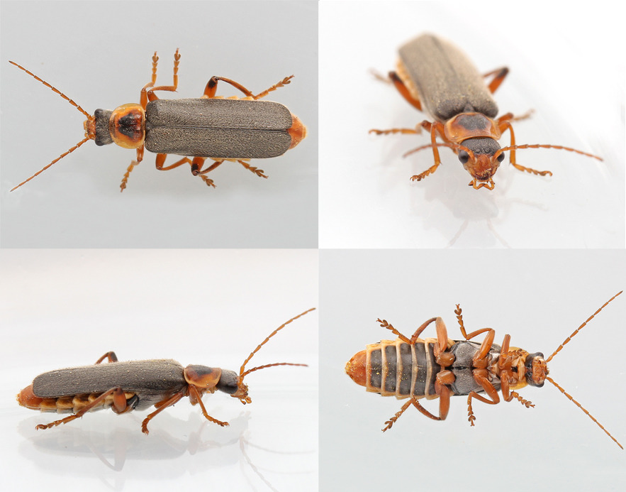 Cantharis nigricans (Cantharis nigricans)