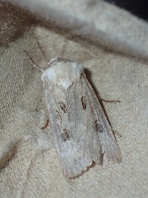Udråbstegnsugle (Agrotis exclamationis)
