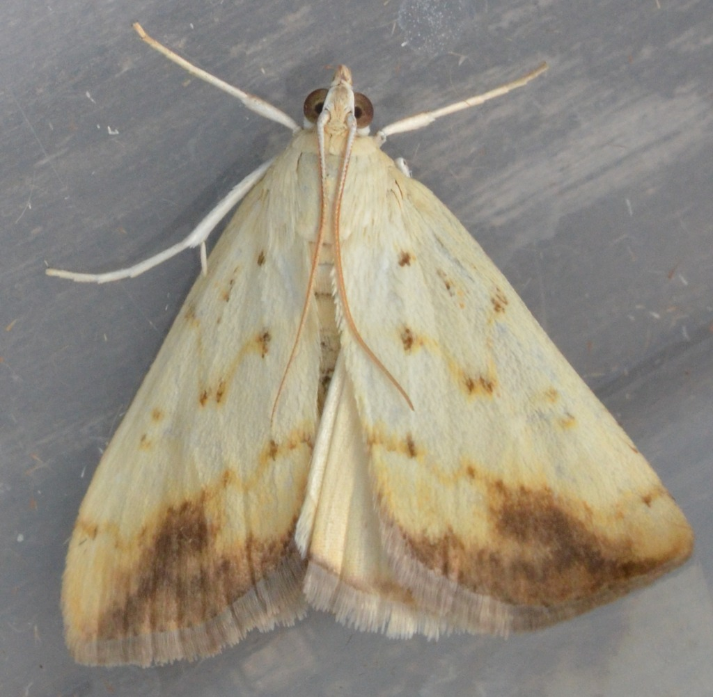 Evergestis extimalis (Evergestis extimalis)
