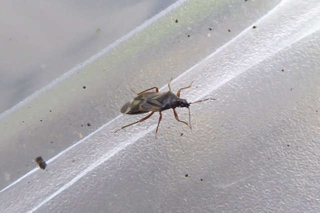 Anthocoris sp. (Anthocoris sp.)