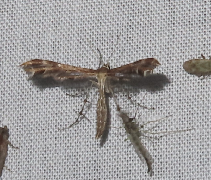Crombrugghia distans (Crombrugghia distans)